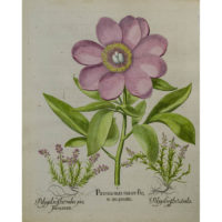 Besler Paeonia mas maior floreincarnato [Peony and Milkwort]