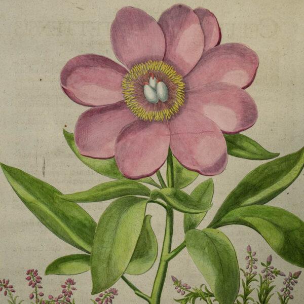 Detail of I. Paeonia mas maior floreincarnato