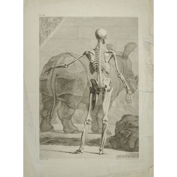 [Skeleton with Rhinoceros, Back View] Plate VIII