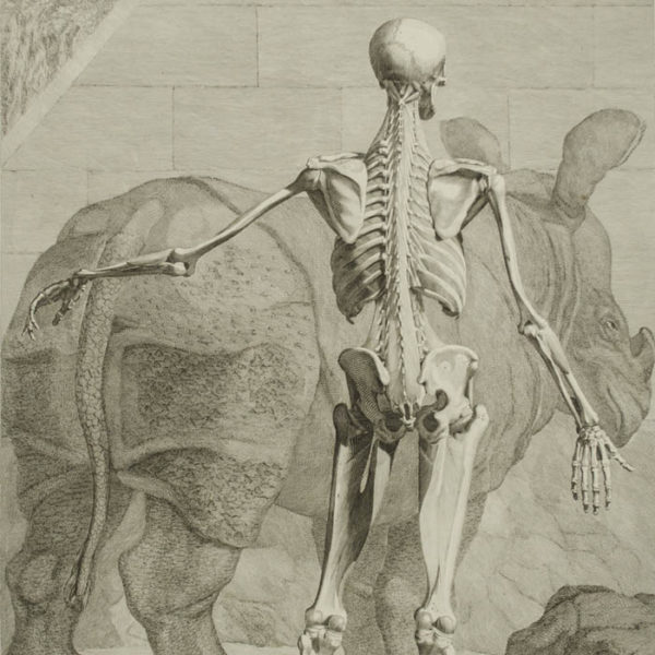 [Skeleton with Rhinoceros, Back View] Plate VIII, detail