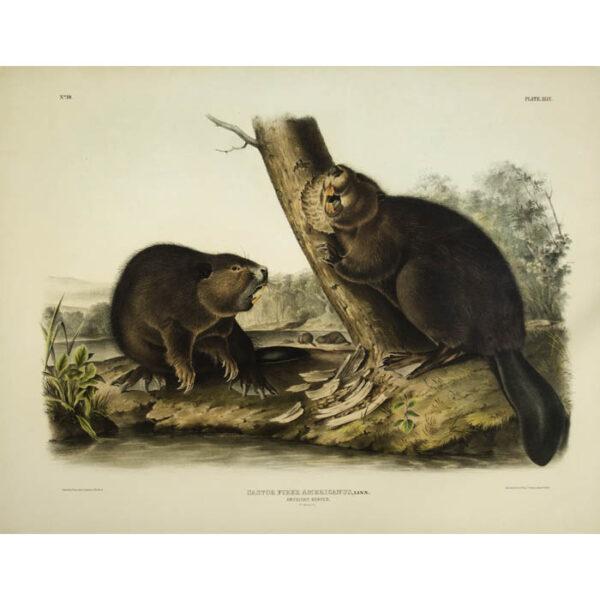 J.J. Audubon, American Beaver, Castor fiber americanus (Plate XLVI, No. 10)