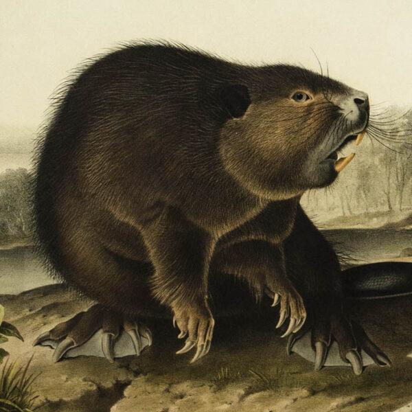American Beaver, detail