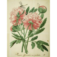 Paeonia officinalis [Common Peony]