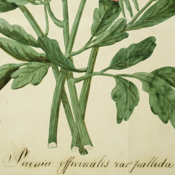Paeonia officinalis [Common Peony], detail