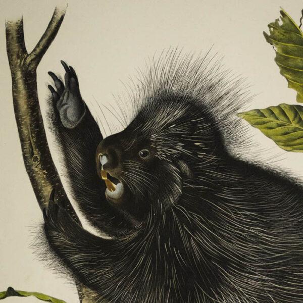 Audubon, Hystrix Dorsata, Linn., Canada Porcupine, detail