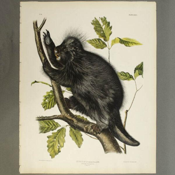 Audubon, Hystrix Dorsata, Linn., Canada Porcupine