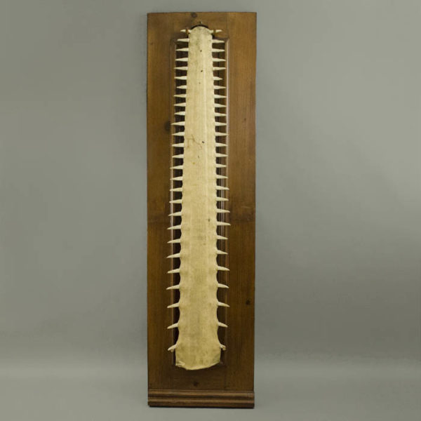 Sawfish Bill Rostrum Plaque
