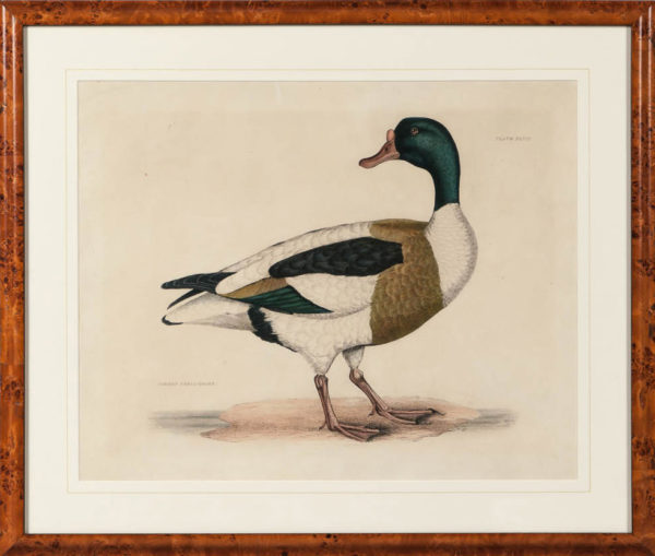 Selby Duck