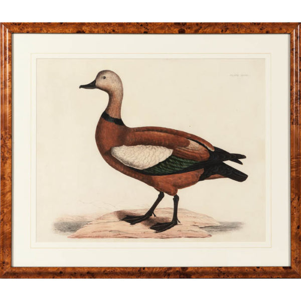 Selby, Ruddy Duck, Vol 2, Pl. 48B