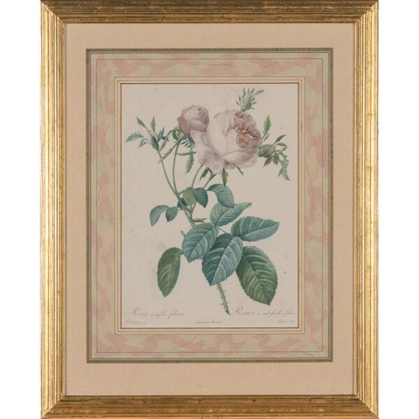 Rosa centifolia foliacea/ Rosier à cent feuilles, foliacé