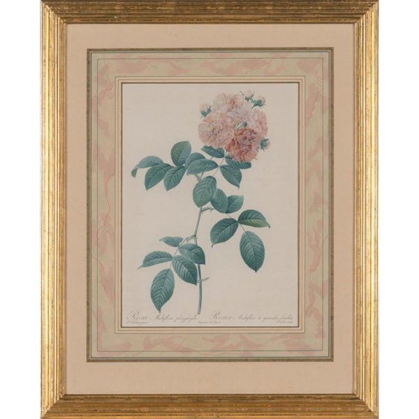 Rosa Multiflora platyphylla/ Rosier Multiflore à grandes feuilles