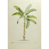 Musa caudice maculato [Banana Tree], G.D. Ehret