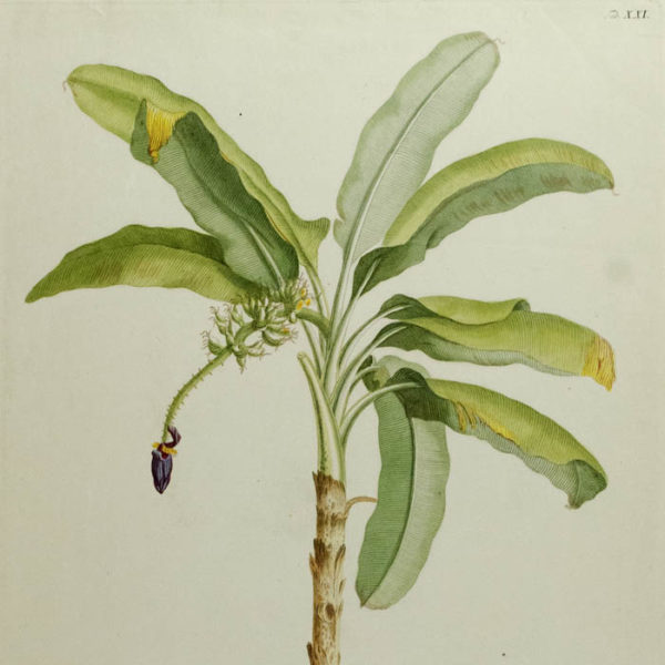 Musa caudice maculato [Banana Tree], detail