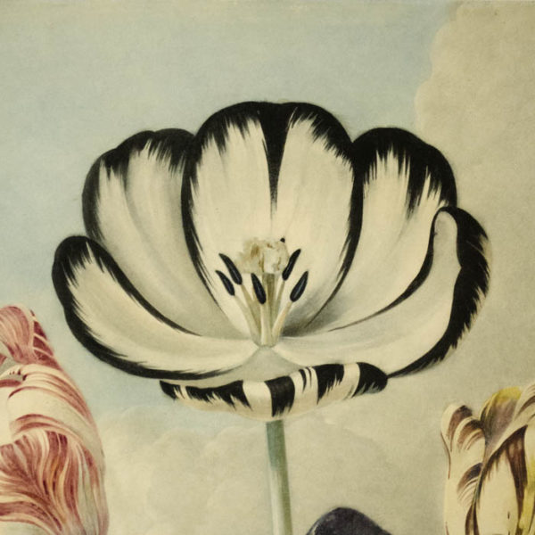 Tulips from The Temple of Flora, detail