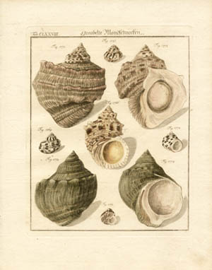 Seashells from Neues Systematisches Conchylien-Cabinet