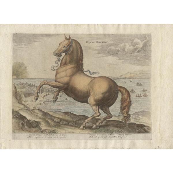 Equus Hispanus from Equile Ioannis Austriaci