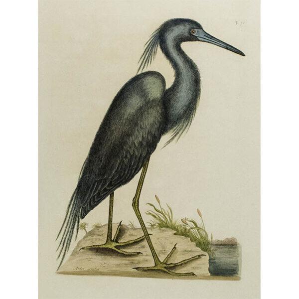 Mark Catesby, The Blue Heron (Ardea caerulea)