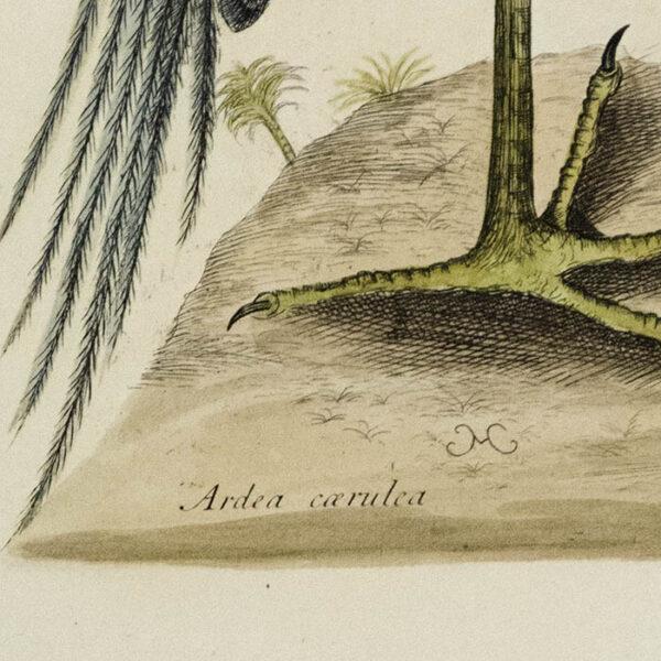 Mark Catesby, The Blue Heron (Ardea caerulea), detail