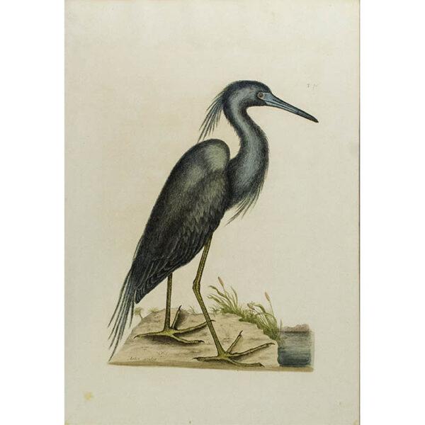 Mark Catesby, The Blue Heron (Ardea caerulea), full