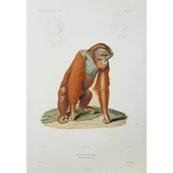 Orang-Outang Mâle, Mammifères Plate 1
