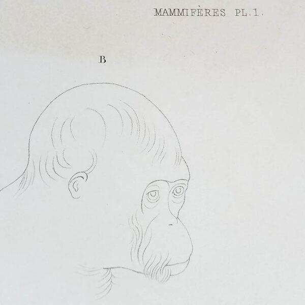 Orang-Outang Mâle, Mammifères Plate 1, detail