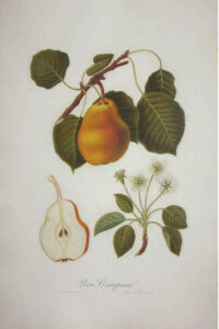 Pomona Italiana pear print