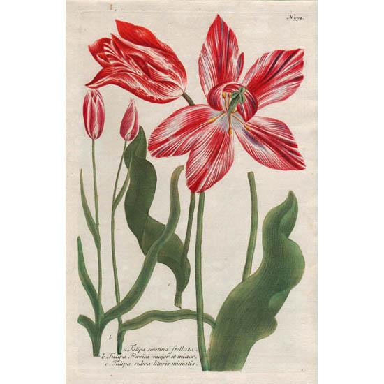 Weinmann Plate 994, Tulips
