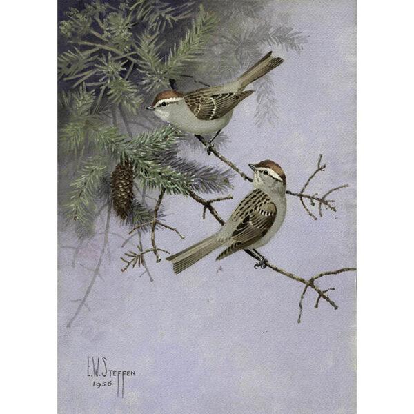 Eastern Chipping Sparrow, Spizella passerina passerina