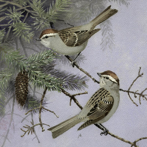 Eastern Chipping Sparrow, detail