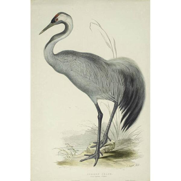 Common Crane (Grus cinerea)