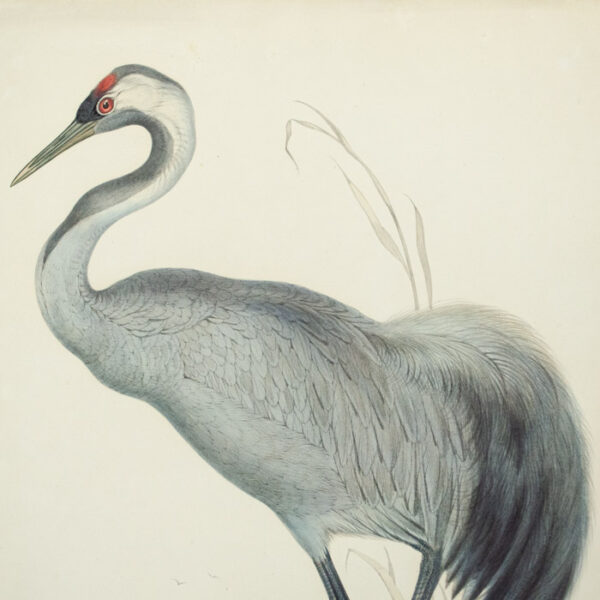 Common Crane (Grus cinerea) detail