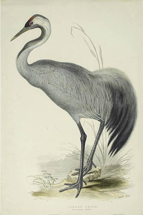 Edward Lear/John Gould Common Crane