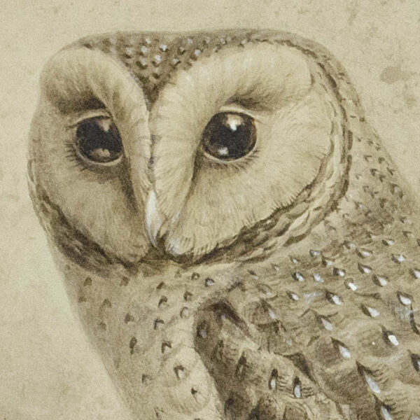 Keulemans, Natural History Study of Owl, detail