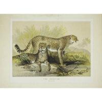 The Cheetah (Felis jubata)