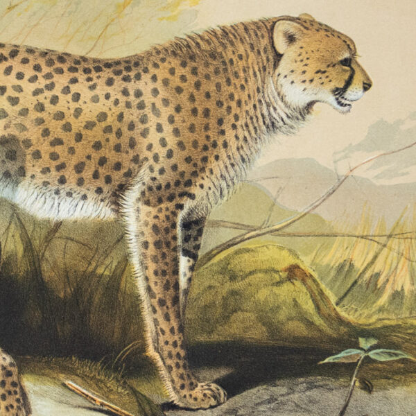 The Cheetah (Felis jubata), detail