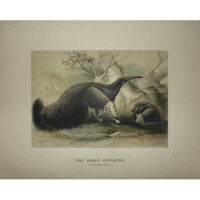 The Great Anteater
