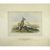 The Red Kangaroo (Macropus Rufus)