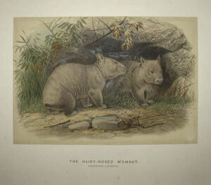 The Hairy-Nosed Wombat