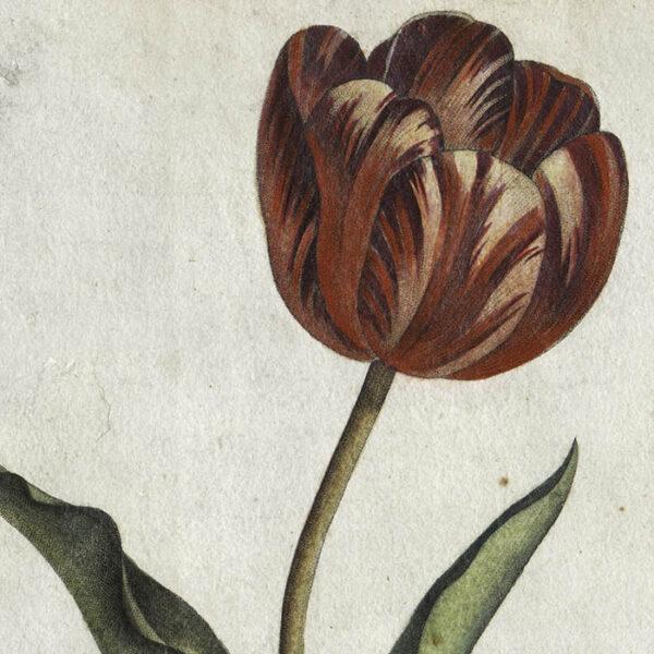Iris Flambé, Tulippe, Laurier St. Antoine, detail