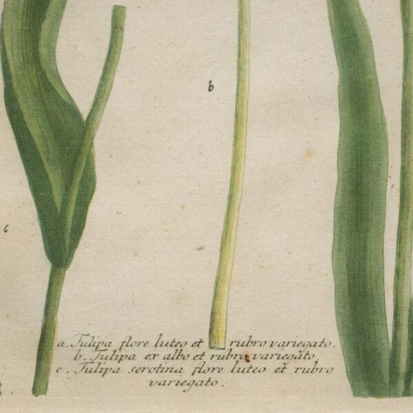 Weinmann Plate 990, Tulips, detail