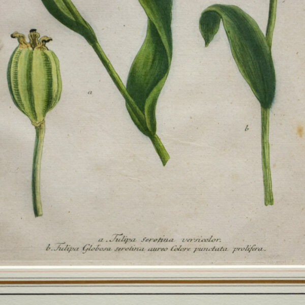 Weinmann Plate 993, Tulips, detail